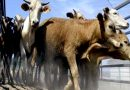Group gets 20 cows from Bontoc