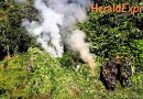 P23.4 million marijuana destroyed in Kalinga