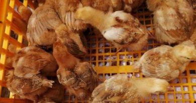 Baguio distributes free range chicks, bees