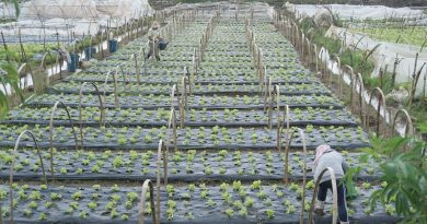 Stable supply of strawberries assured